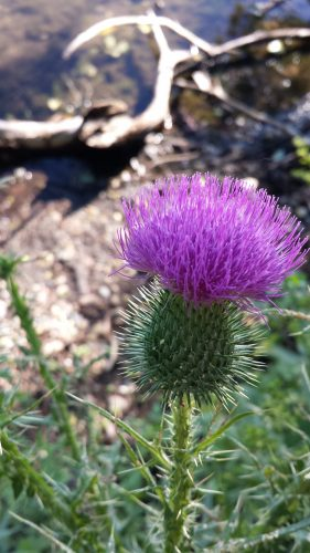 Thistle, Cedar Lake Point