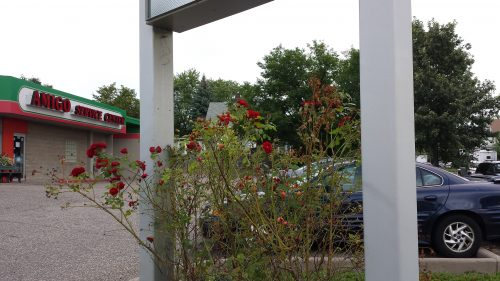 Rose Bush at the Amigo Service Center, 3544 Lyndale Ave S