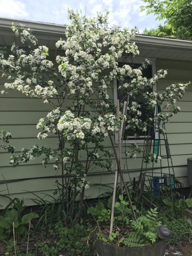Medium-size bush against house, covered with white blossoms